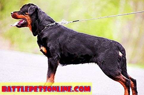 Rottweiler i hip displasia