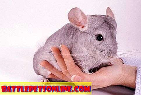 Nhìn sau Pet Chinchillas