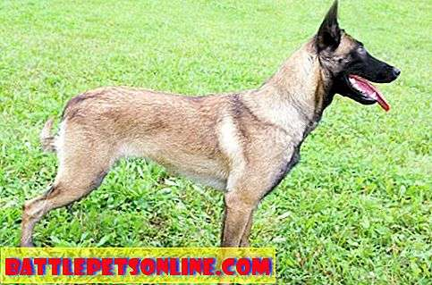 Belgischer Malinois (Schäferhund) Temperament And Handling